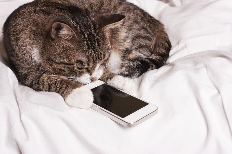 Cat looks into the phone royalty free stock photos