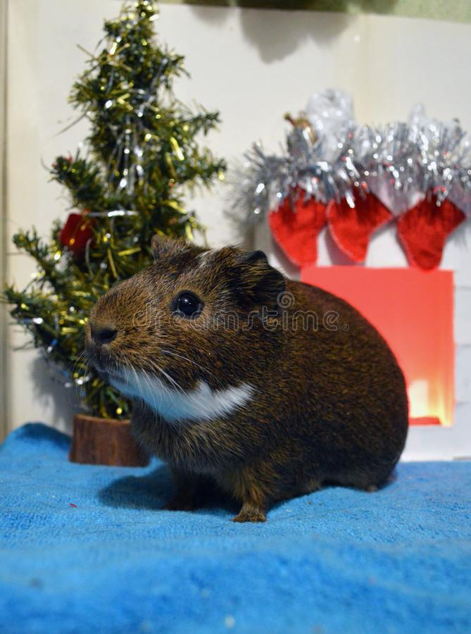 Guinea pig is waiting for gifts from Santa royalty free stock images