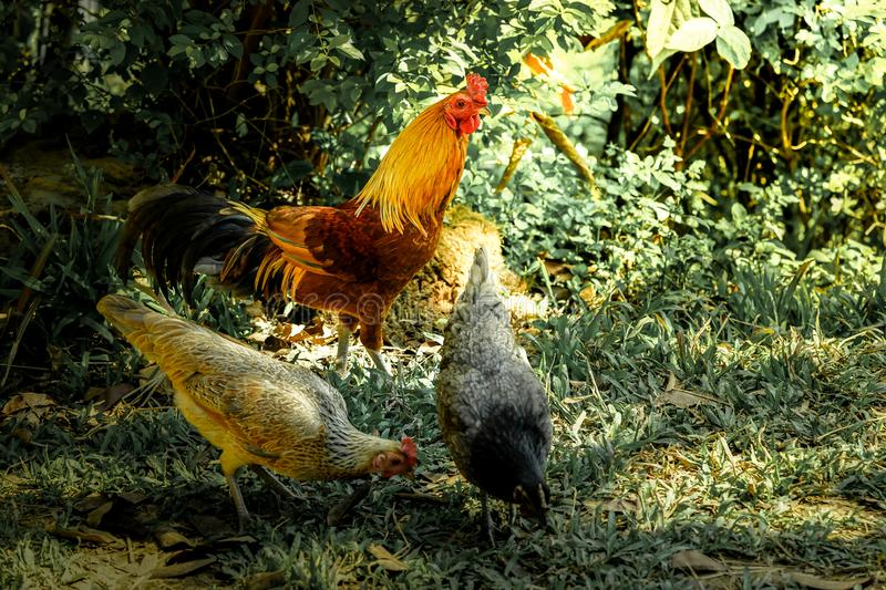 Smart crock with 2 hens finding their food on the grass floor. With effect  lighting stock images