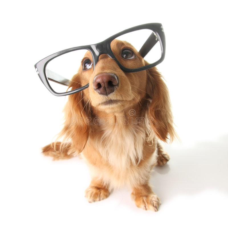 Smart dachshund stock image