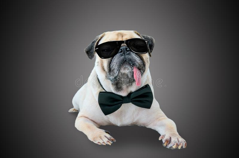 Smart detective cute pug dog with sunglasses and suit Bow Tie. stock photo