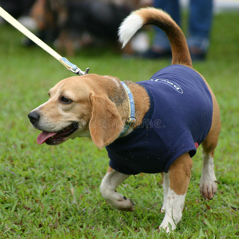 Download Smart dog stock photo. Image of grass, strolling, blue - 231140