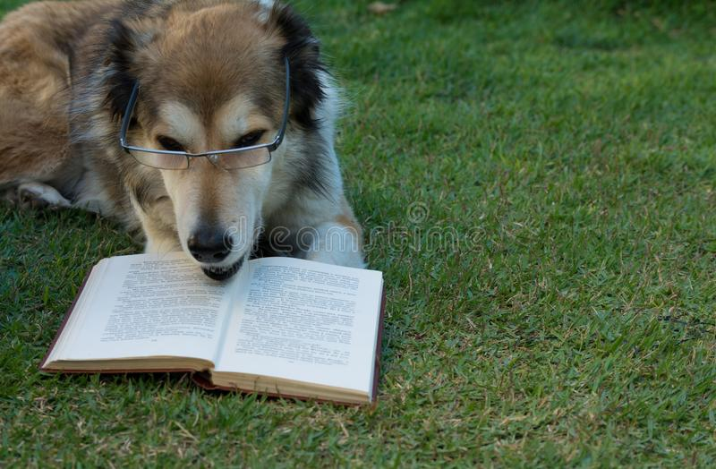 Smart dog reading a book royalty free stock photo