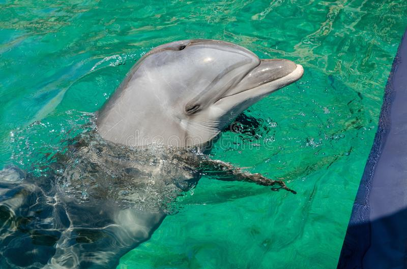 Smart dolphin at the Dolphin Reef in Eilat,. On the shores of the Red Sea royalty free stock photo