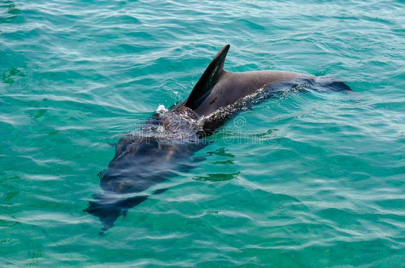Smart dolphin at the Dolphin Reef in Eilat, on the shores of the Red Sea royalty free stock images