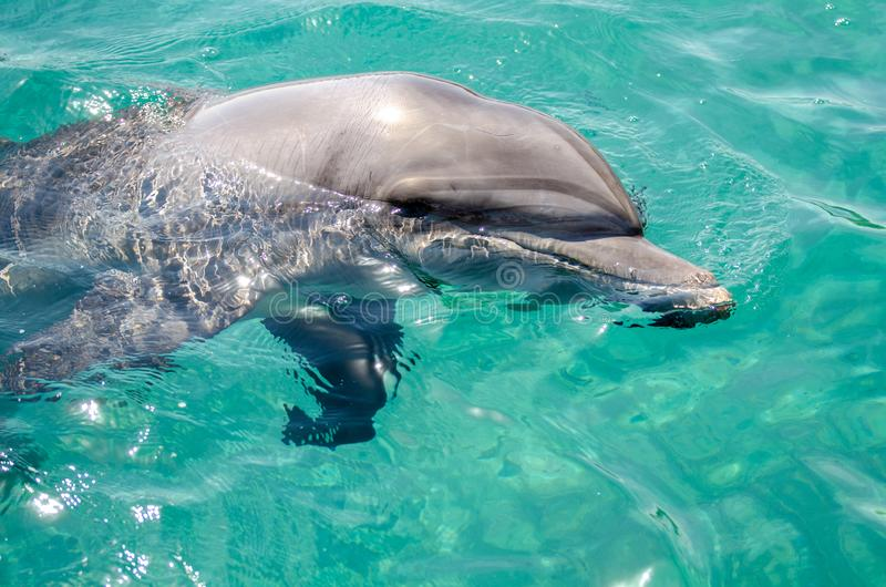 Smart dolphin at the Dolphin Reef in Eilat, on the shores of the Red Sea royalty free stock image