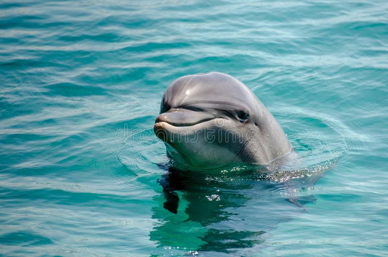 Smart dolphin at the Dolphin Reef in Eilat, stock image