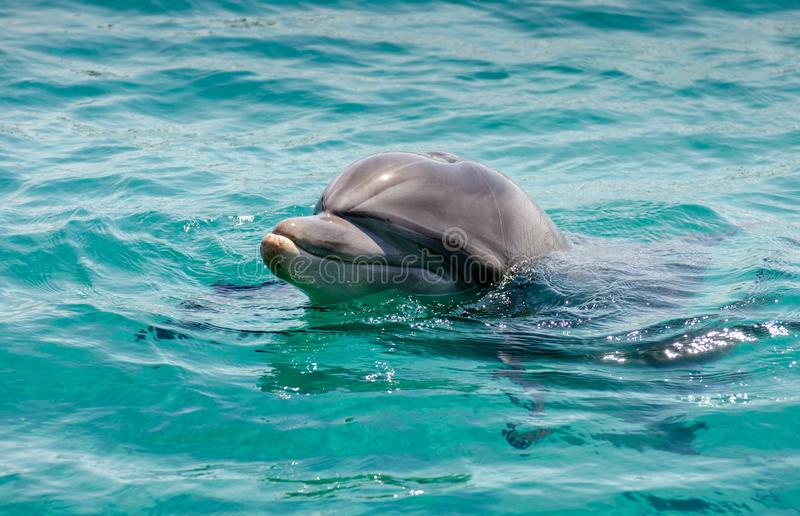 Smart dolphin at the Dolphin Reef in Eilat. On the shores of the Red Sea royalty free stock image