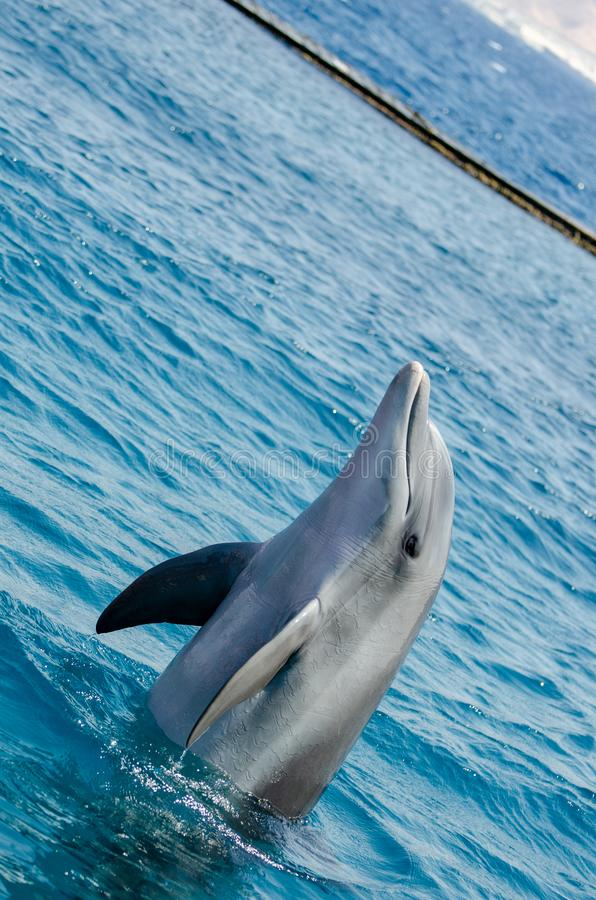 Smart dolphin at the Dolphin Reef in Eilat, on the shores of the Red Sea. Angle view royalty free stock image