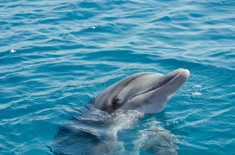 Smart dolphin at the Dolphin Reef in Eilat, on the shores of the Red Sea. Israel stock image