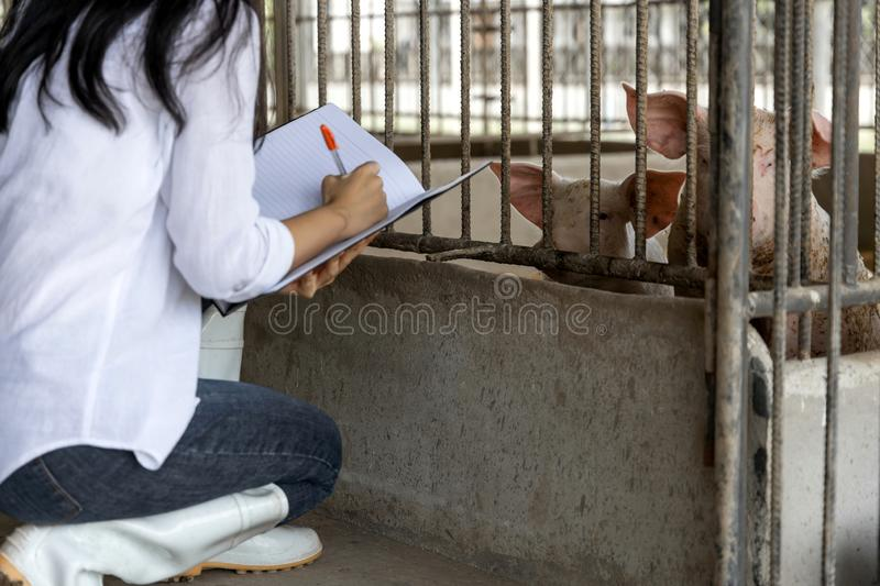 Smart farmer writing notes and checking quality in organic farm pig. Agriculture and livestock industry royalty free stock image