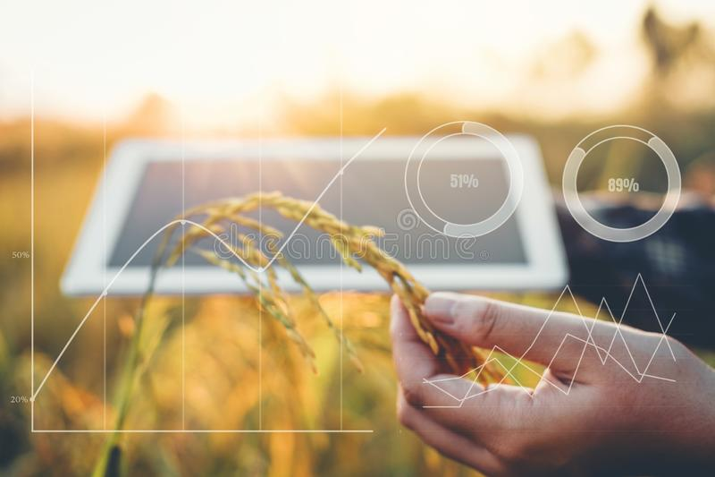 Smart farming Agricultural technology and organic agriculture Woman using the research tablet and studying the development royalty free stock photo
