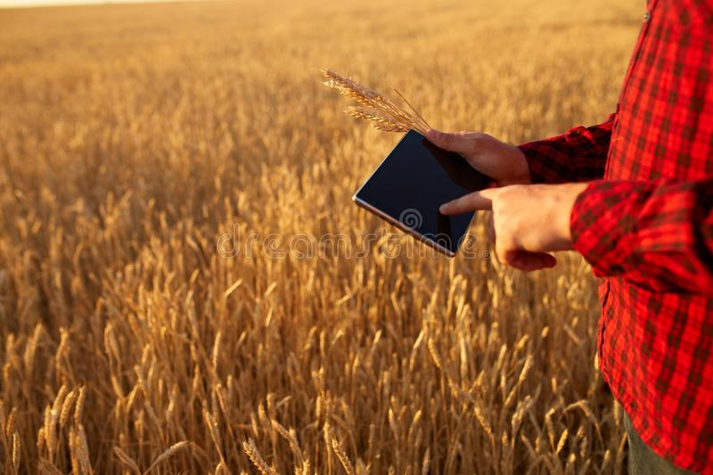 Smart farming using modern technologies in agriculture. Man agronomist farmer with digital tablet computer in wheat. Smart farming, using modern technologies in stock photos