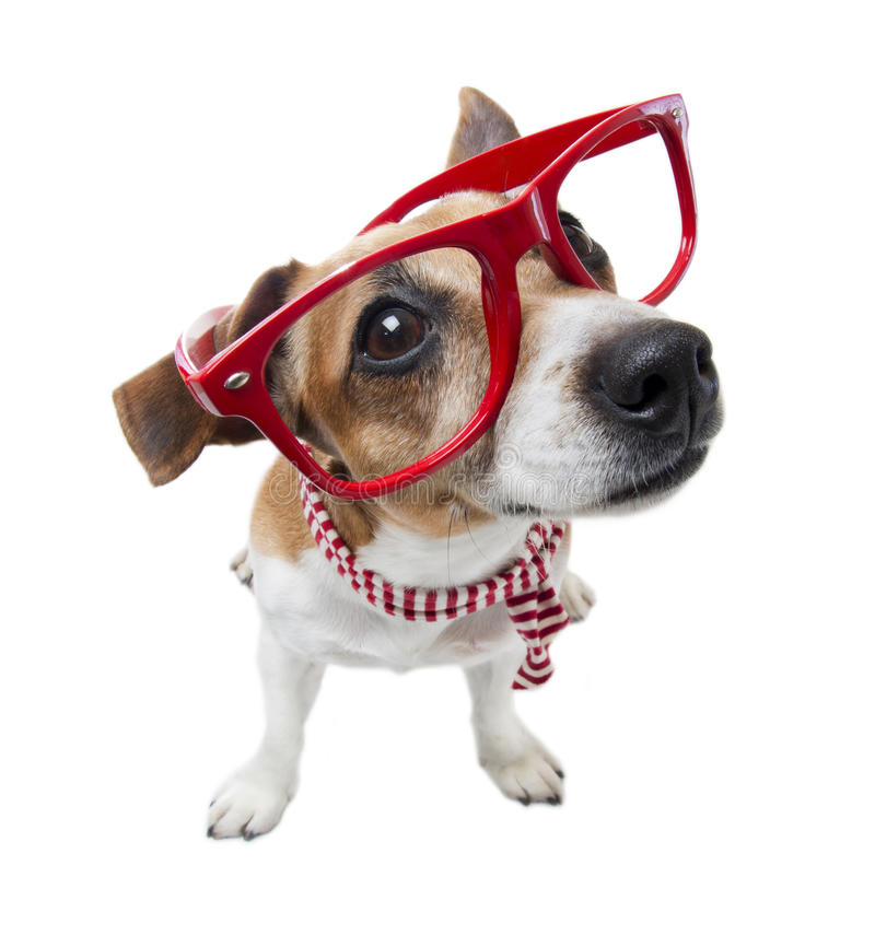 Smart fashion dog. Small cute trendy hipster dog in red glasses without lenses and striped scarf. White background. Studio shot royalty free stock photography
