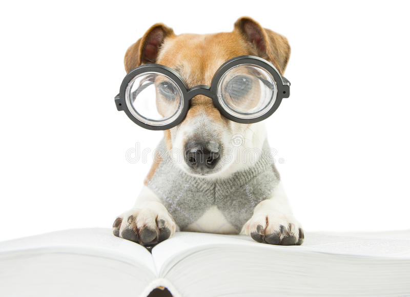 Smart fun dog is Studying. Glasses for poor vision. avid cool funny reader royalty free stock photography
