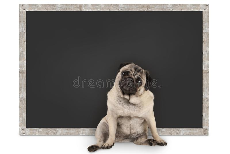 Smart funny pug puppy dog sitting in front of blank blackboard. Isolated on white background royalty free stock photography