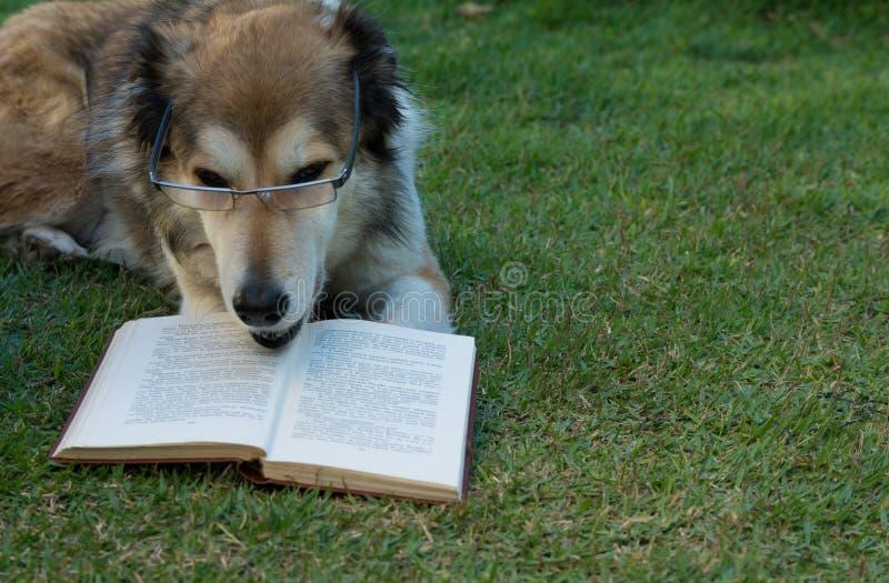 Smart hund som läser en bok royaltyfri foto