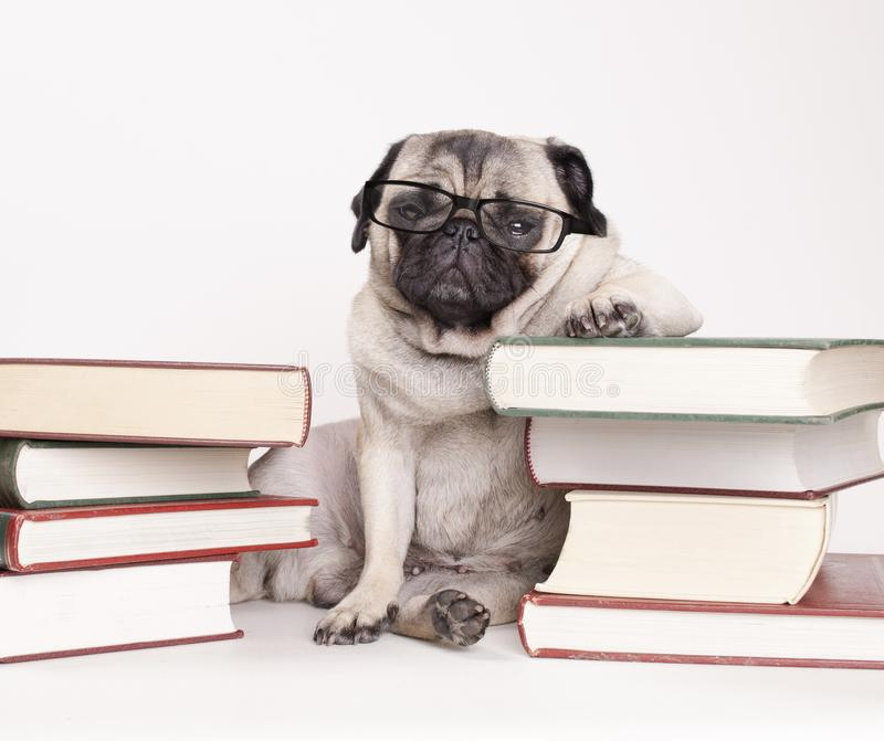 Smart intelligent pug puppy dog with reading glasses, sitting down between piles of books. On white background stock photos