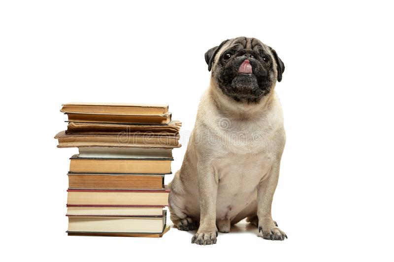 Smart intelligent pug puppy dog sitting down between piles of books, on white background royalty free stock photography