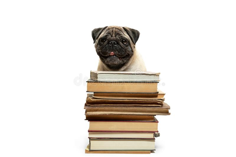 Smart intelligent pug puppy dog sitting down between piles of books, on white background. The smart intelligent pug puppy dog sitting down between piles of books stock photo