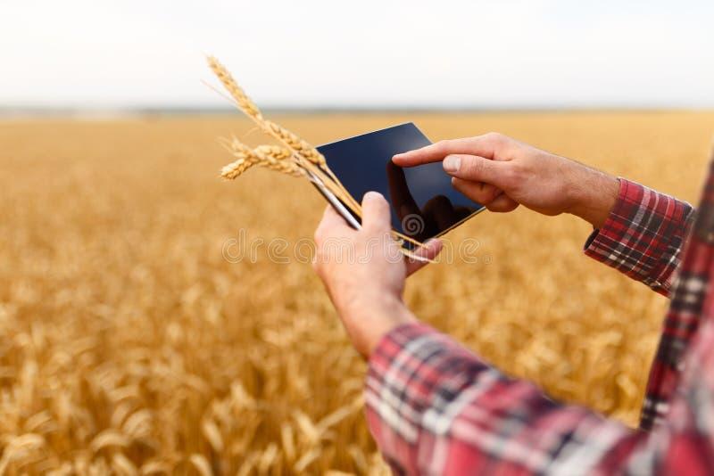 Smart lantbruk genom att använda moderna teknologier i jordbruk Man agronombonden med den digitala minnestavladatoren i vete royaltyfria foton