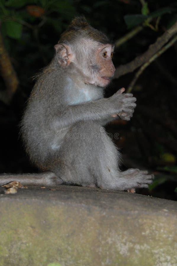 Smart monkey stock photography