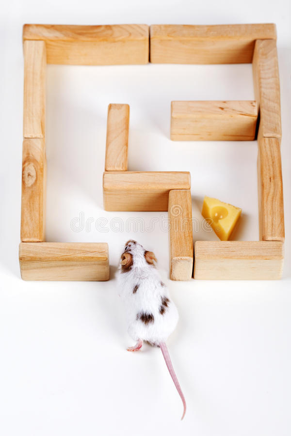 Smart mouse in maze looking for cheese stock images