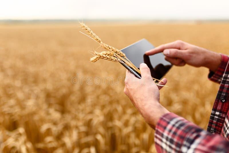Smart que cultiva usando tecnologías modernas en agricultura Sirva al granjero del agrónomo con la tableta digital en trigo foto de archivo libre de regalías