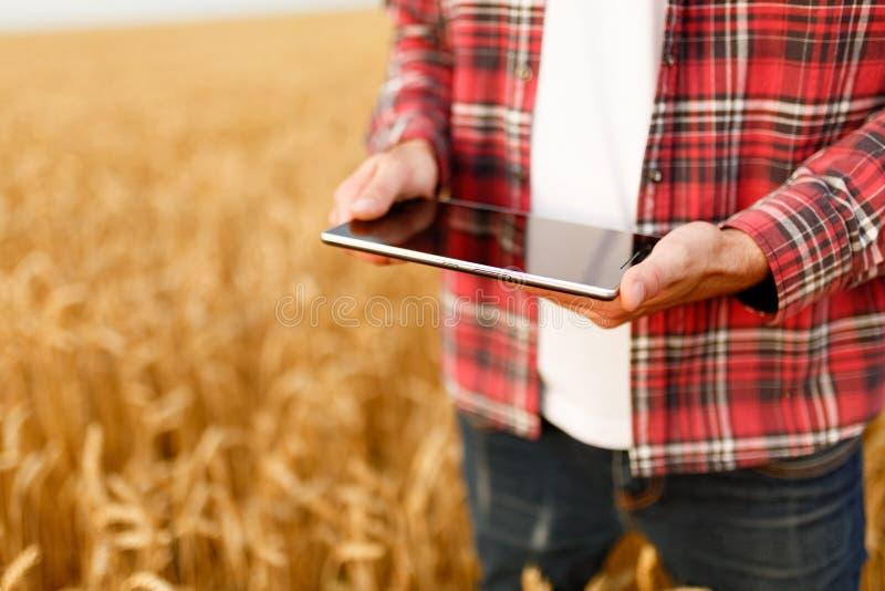 Smart que cultiva usando tecnologías modernas en agricultura Sirva al granjero del agrónomo con la tableta digital en trigo fotografía de archivo libre de regalías