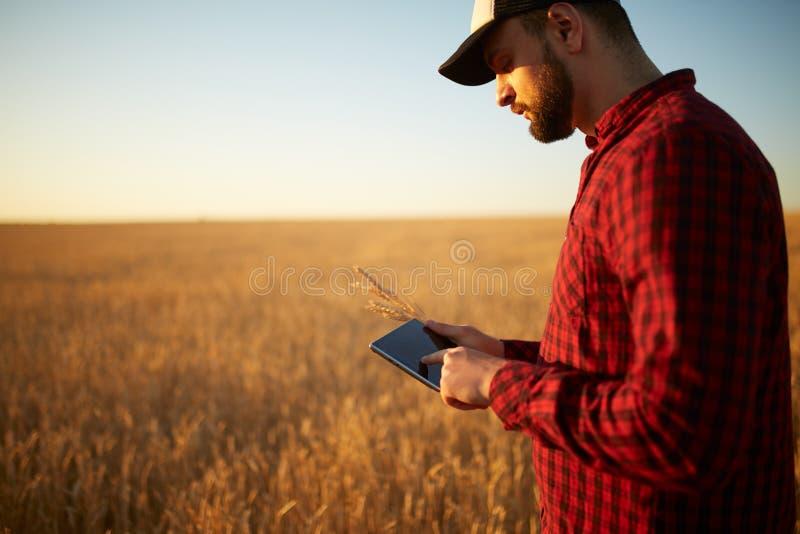 Smart que cultiva usando tecnologías modernas en agricultura Sirva al granjero del agrónomo con la tableta digital en trigo imagen de archivo libre de regalías