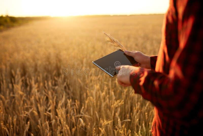 Smart que cultiva usando tecnologías modernas en agricultura Sirva al granjero del agrónomo con la tableta digital en trigo fotografía de archivo