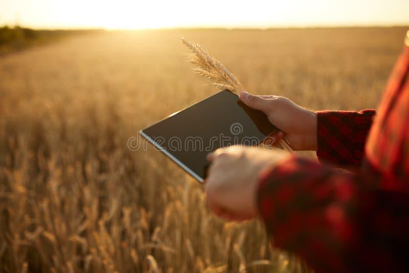 Smart que cultiva usando tecnologías modernas en agricultura Sirva al granjero del agrónomo con la tableta digital en trigo fotos de archivo
