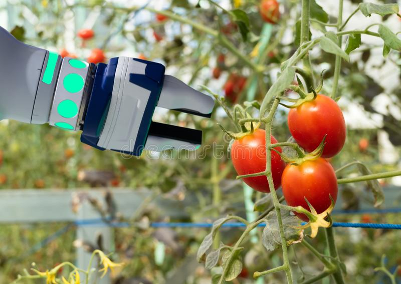Smart robotic in agriculture futuristic concept, robot farmers automation must be programmed to work in the vertical or indoor far. M for increase efficiency stock photo