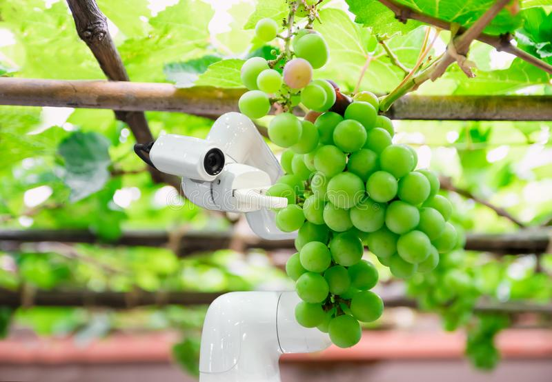 Smart robotic farmers grape in agriculture futuristic robot automation to work increase. Efficiency royalty free stock images