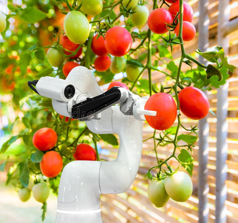 Smart robotic farmers harvest in agriculture futuristic robot automation to work technology. Increase efficiency stock image