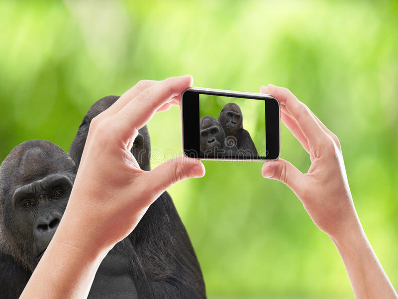 smartphone för två gorillor royaltyfri bild