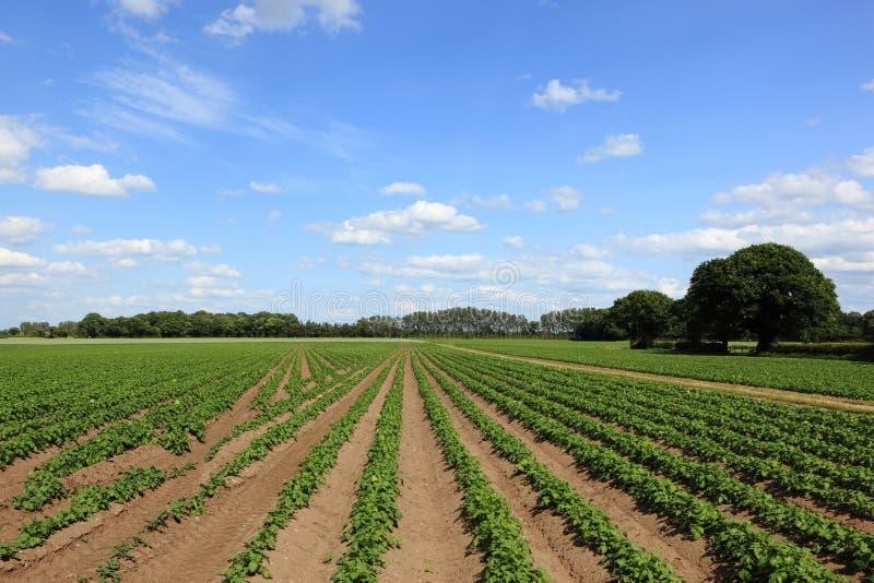 Smattrande av unga potatisskördar i ett jordbruks- landskap i sommartid arkivfoto
