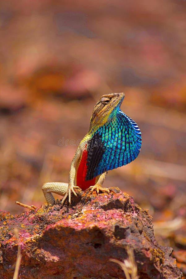 Smazzi il maschio Throated della lucertola, ponticeriana di Sitana, visualizzante il fan, Satara, maharashtra fotografie stock