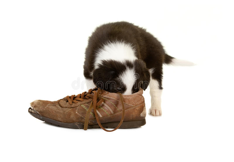 Download Smelling puppy stock image. Image of sheepdog, young - 25762685