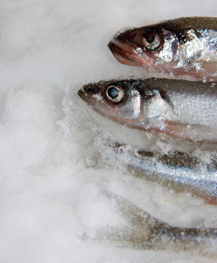 Smelt (fish) royalty free stock photography