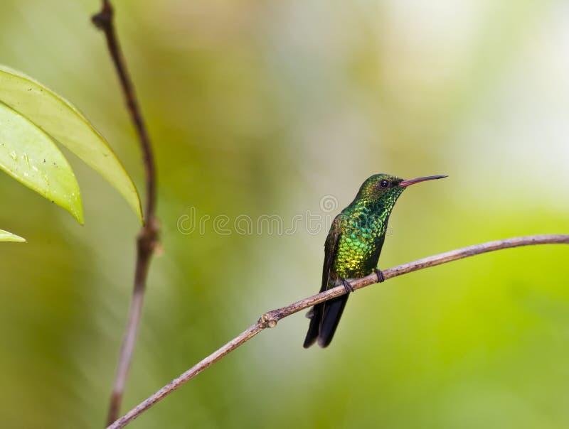 Smeraldo del Canivet (canivetii di Chlorostilbon fotografia stock libera da diritti