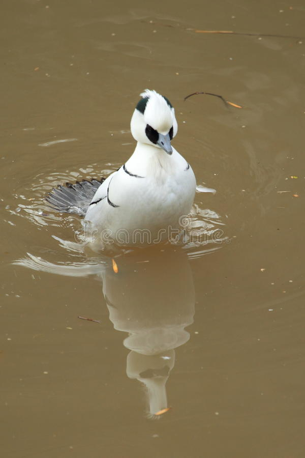 Download Smew stock photo. Image of water, albellus, mergellus - 28518408