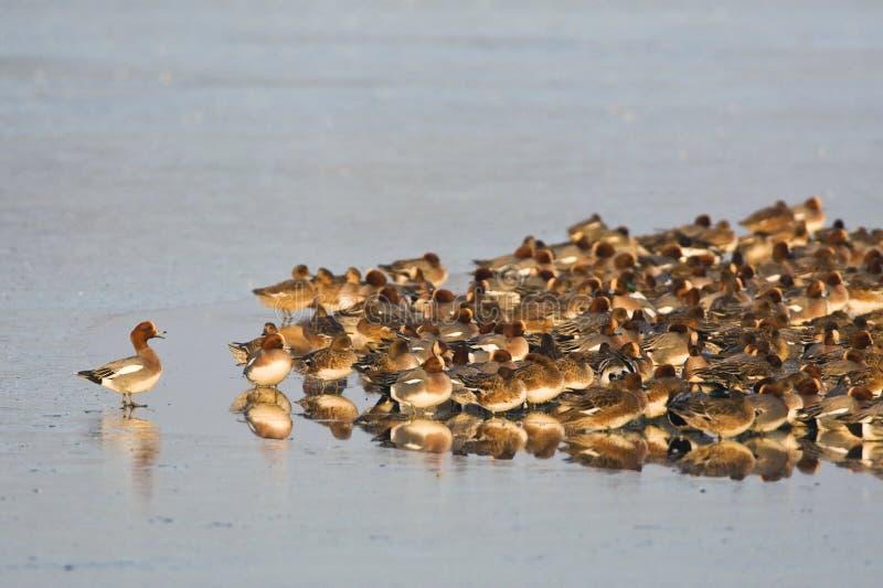 Smient, Eurasian Wigeon, Anas penelope. Grote groep overwinterende Smienten; Large flock of wintering Eurasian Wigeons royalty free stock photos