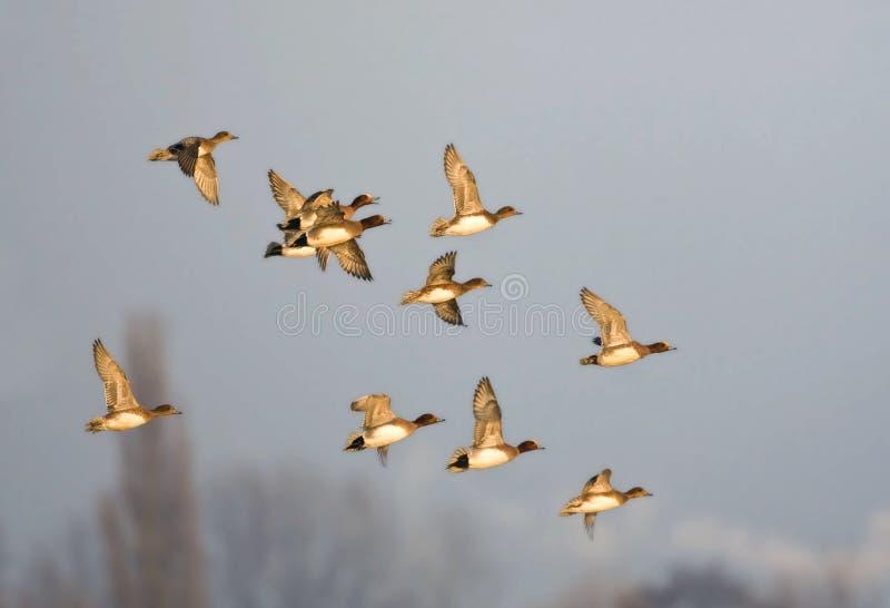 Smient, Eurasian Wigeon, Anas penelope. Grote groep overwinterende Smienten; Large flock of wintering Eurasian Wigeons stock photo