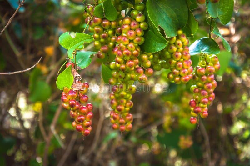 Smilaxaspera, med gemensamma namn: grov vinda, sarsaparille, royaltyfri fotografi