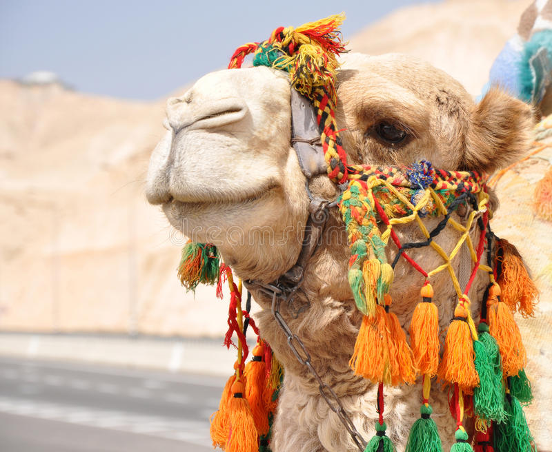 Smile. Nice Smiling Camel with Bright Bedouin Tassels royalty free stock photography