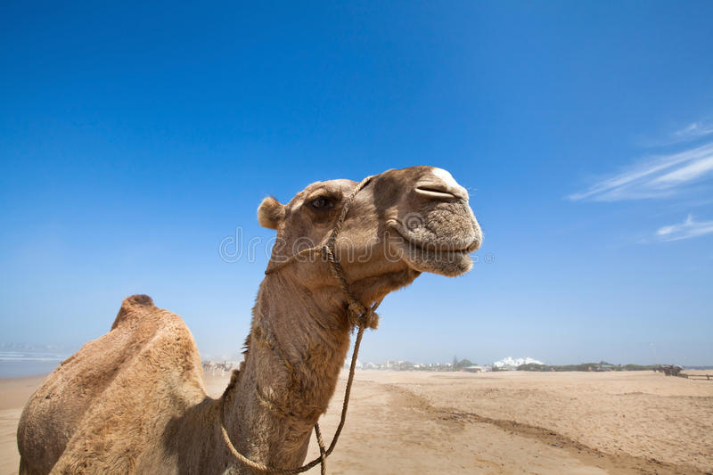 Smile of camel royalty free stock photo