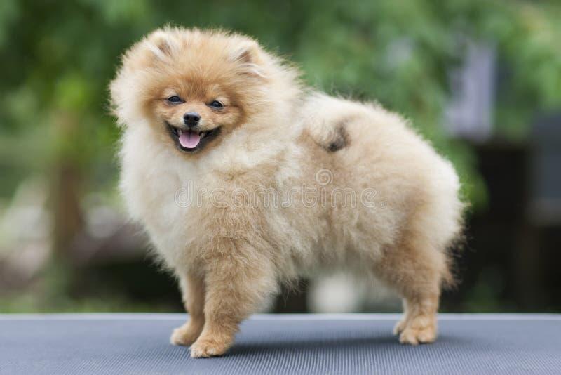 Smile of dog pomeranian spitz. Portrait little pomeranian smiling dog. Fall walk of pomeranian dog in october sunny day. stock image