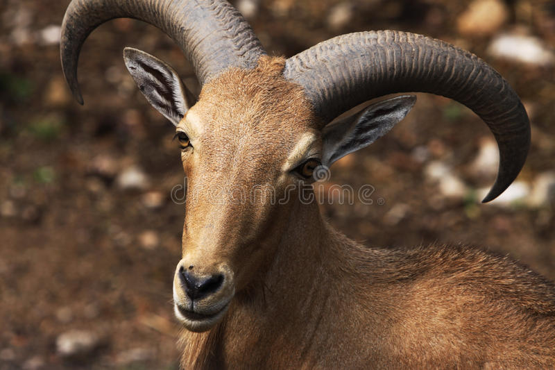 Download Smile Goat Royalty Free Stock Image - Image: 12790446