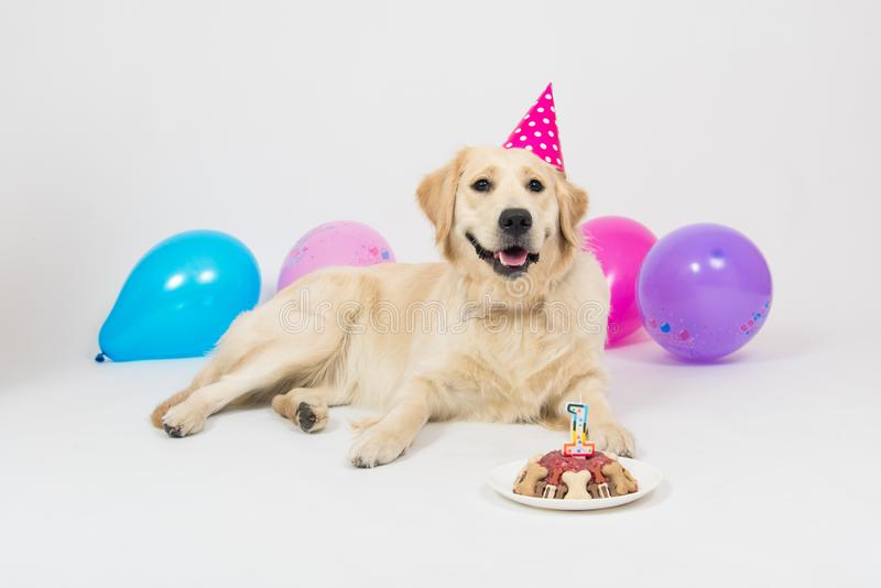 Smile Golden Retriever dog with balloons on birthday party royalty free stock images